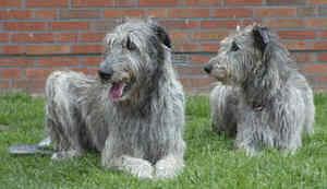 coppia irish wolfhound