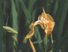 iris pseudacors